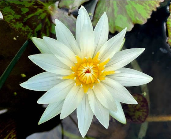 Crystal Tropical Waterlily