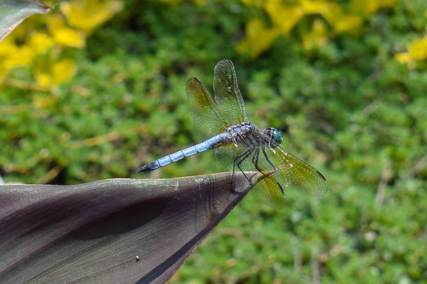 dragonfly facts