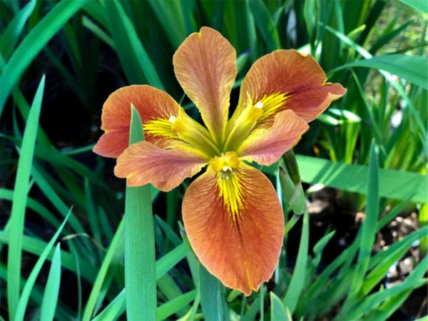 Copper Iris Fulva