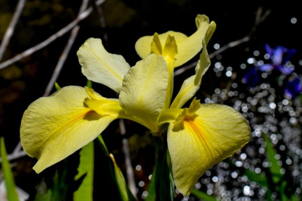 Yellow Iris Wow Factor