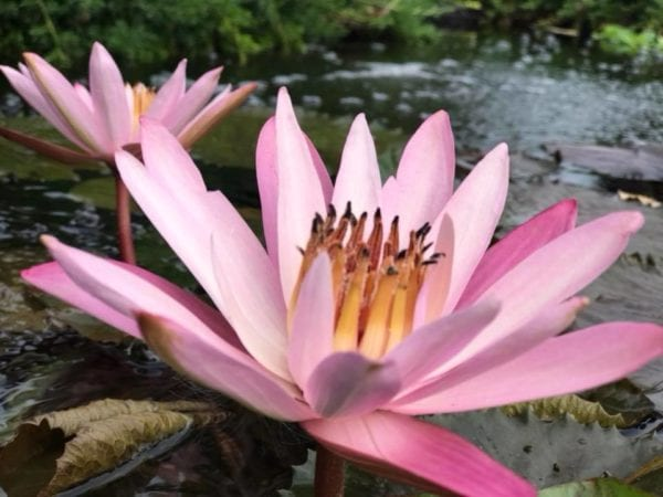 Texas Shell Pink Tropical Waterlily