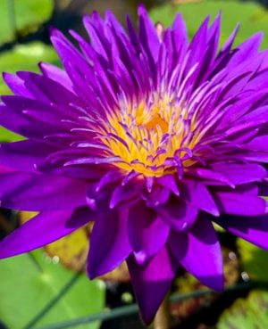 Plum Crazy Tropical Waterlily