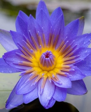 Laura Frase Tropical Waterlily